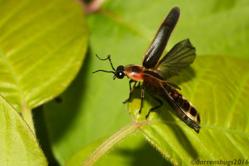 Firefly pre-flight. (Lampyridae: Photinus pyralis, from Iowa, USA)
