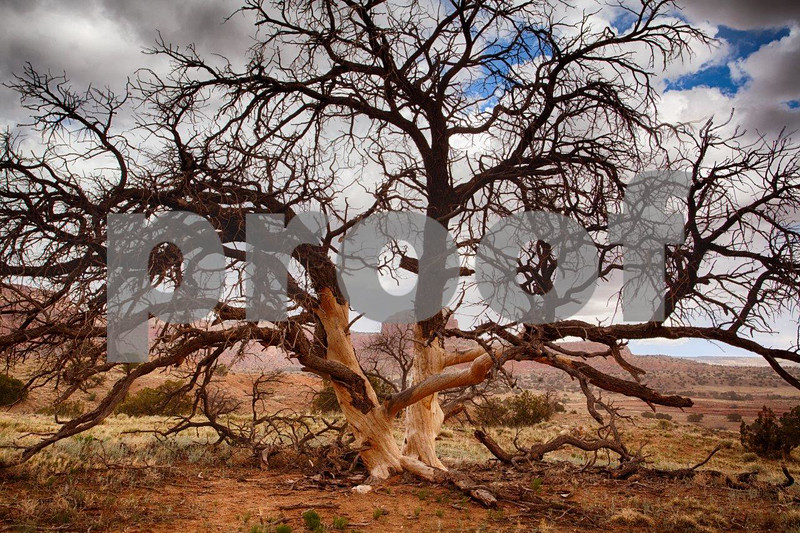 Tree, Ghost Ranch6968.jpg