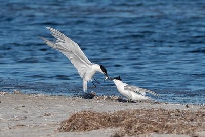 Kentsk tärna – Sandwich Tern