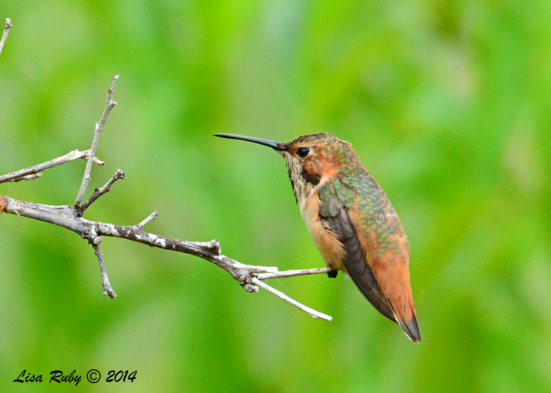 Immature Male Selasphorus Hummingbird - 8/2/2014 - Backyard, Sabre Springs