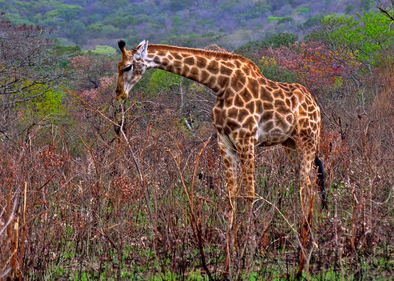 YOUNG GIRAFFE - SOUTH AFRICA