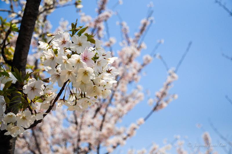 Korea-Cherry blossom-2955.jpg