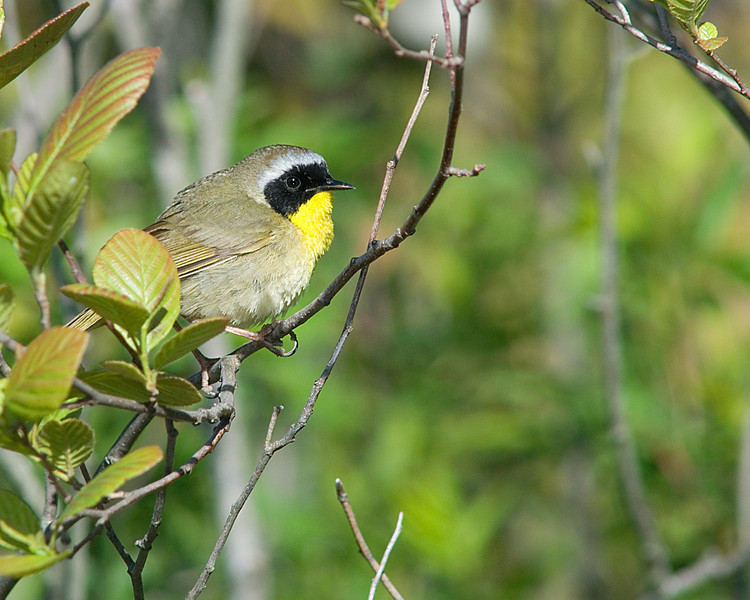 Common Yellowthroat  An excited pair of males competed for a nice bit of territory out in the marsh!  Summer birds are here!