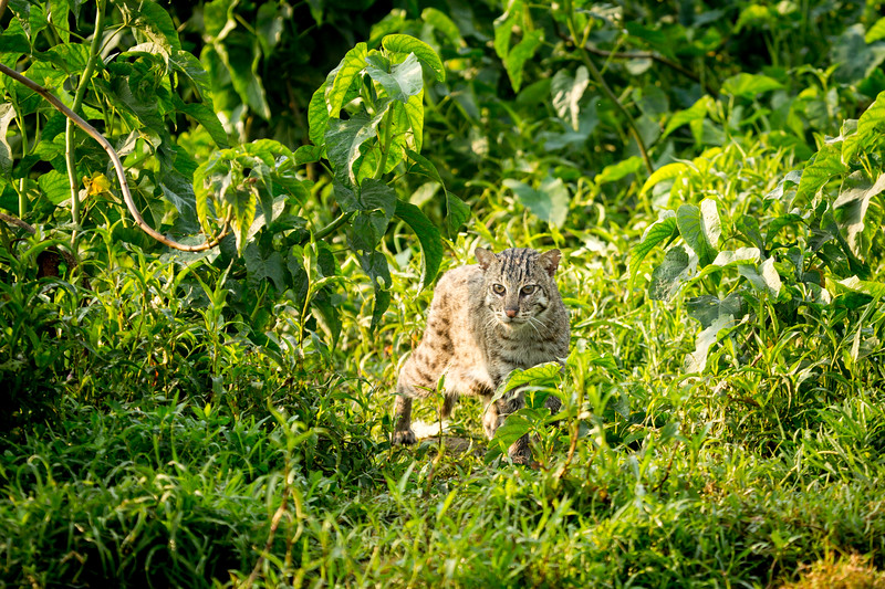 A fishing cat (Prionailurus viverrinus), Bangladesh. They are suited to a life in the monsoon wetlands.  Beneath a long outer coat they have a short layer of insulating fur that acts like a wetsuit -  and they have partially webbed feet.