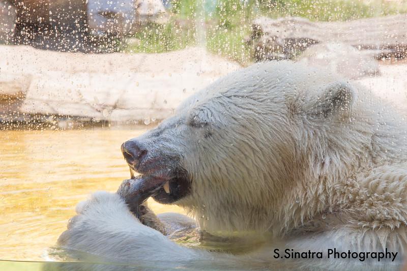 polar bear (6 of 50).jpg
