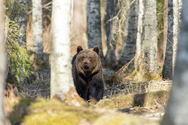 Brown Bears 2021 Lentiira