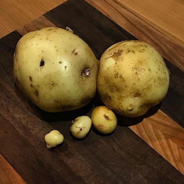 "I've read about growing potatoes but could never figure out what they really meant about ""hilling"". I figured the only way to find out is to plant a few myself... okay, I messed up. What they meant by hilling was more of a mountain and I wasn't prepared f"
