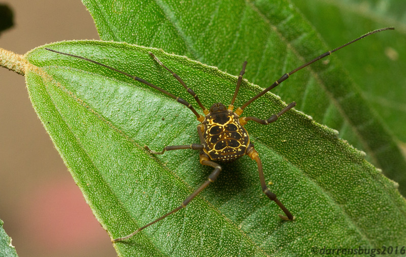 Harvestman (order Opiliones) from Monteverde, Costa Rica. While they appear spider-like, these arachnids occupy their own order thanks to the distinguishing characteristics of broadly fused body segments and a lack of venom and silk glands.
