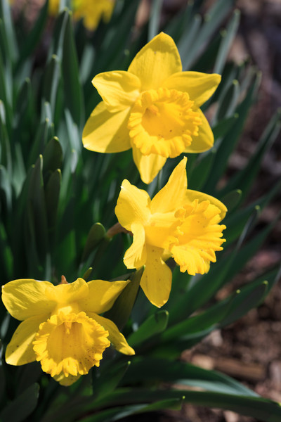 2014_04_05 Daffodils 002.jpg