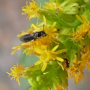 P153CeratinaCockerelli136 Dec. 10, 2015  9:06 a.m.  P1530136 This tiny little carpenter bee is only about 4mm long.  Several were on this goldenrod (??) at LBJ WC.  Apid.
