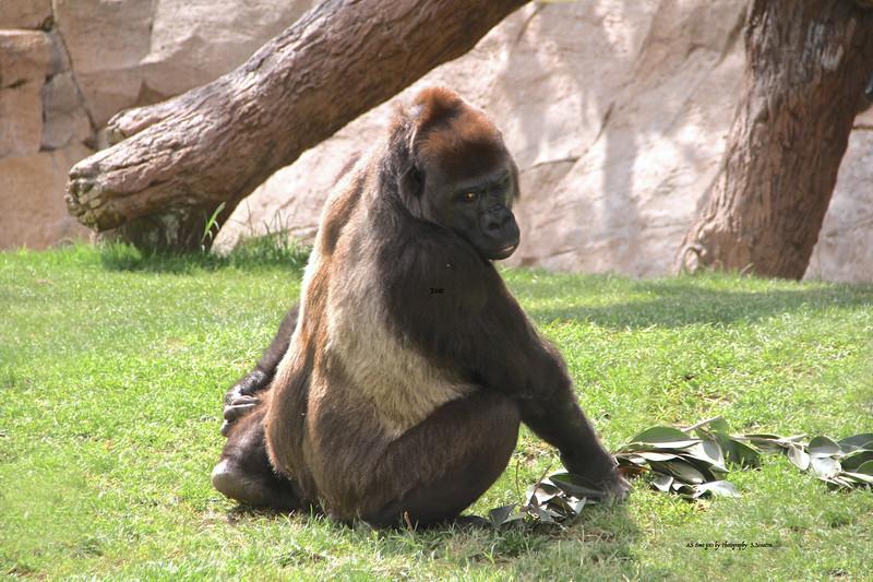 Gorilla Wild animal park.jpeg