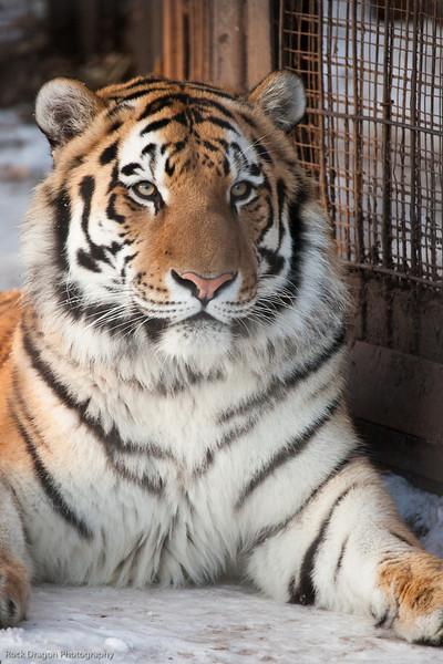 Siberian Tiger, Calgary Zoo Dec. 27