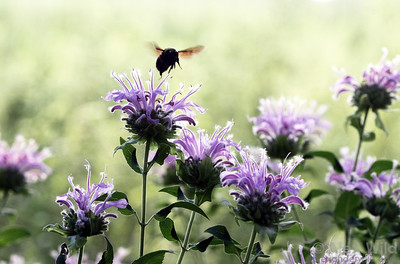 A bumble bee (Bombus sp.) visits Monarda flowers.  Urbana, Illinois, USA