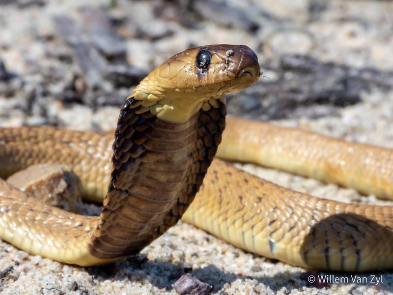 20191005 Juvenile Cape Cobra (Naja nivea) from Parklands, Western Cape