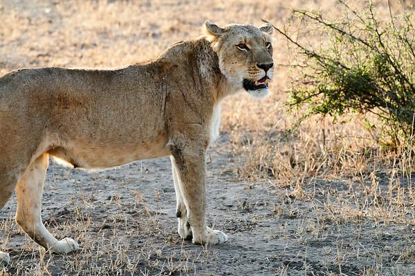 Lion MalaMala South Africa 2019