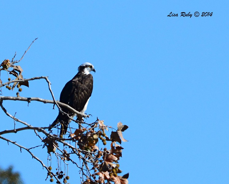Osprey - 12/29/2014 - Santee Lakes
