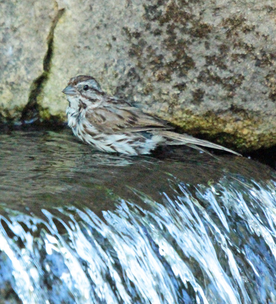 Sparrow in waterfall