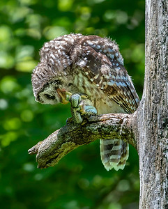 Barred Owls Bacon Woods 2020
