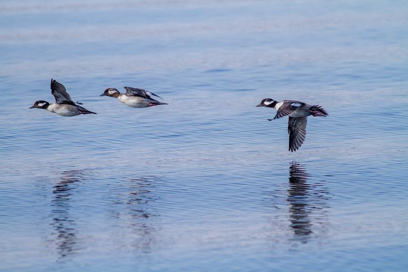 Bufflehead flock Park Point Minnesota Point Duluth MN -0274.jpg