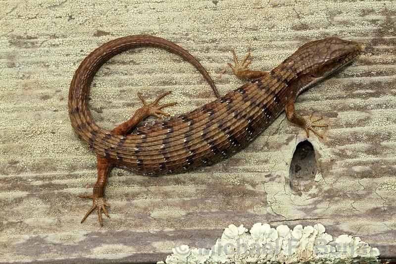 Southern Alligator Lizard