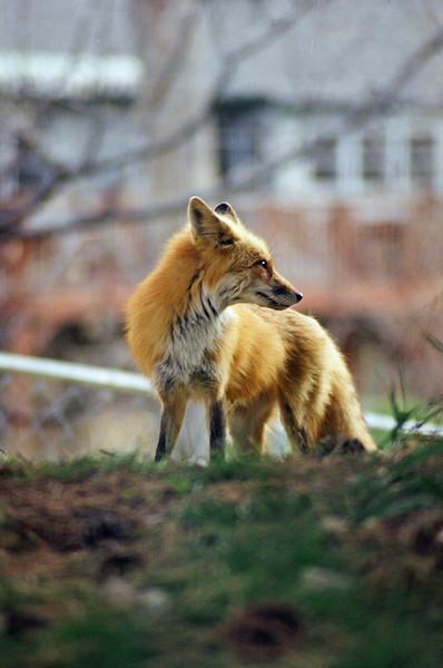 Suburban Fox Family