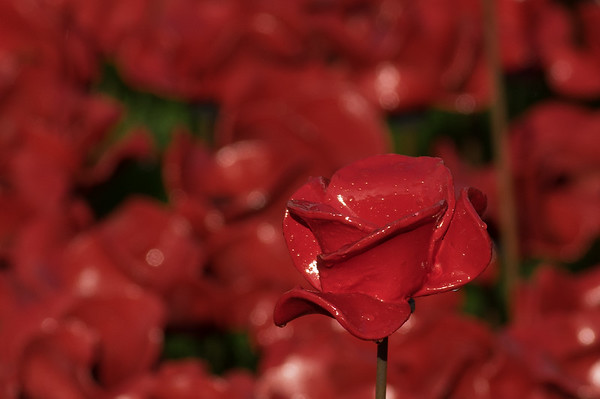 Remembrance 2014 Tower of London poppies