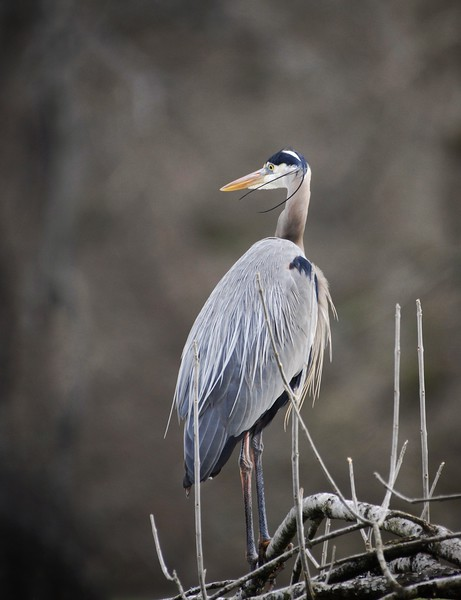Great Blue Heron #1