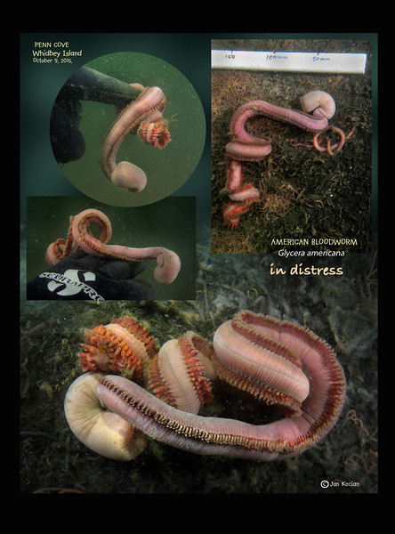 10.9.15 Bloodworm L .jpg