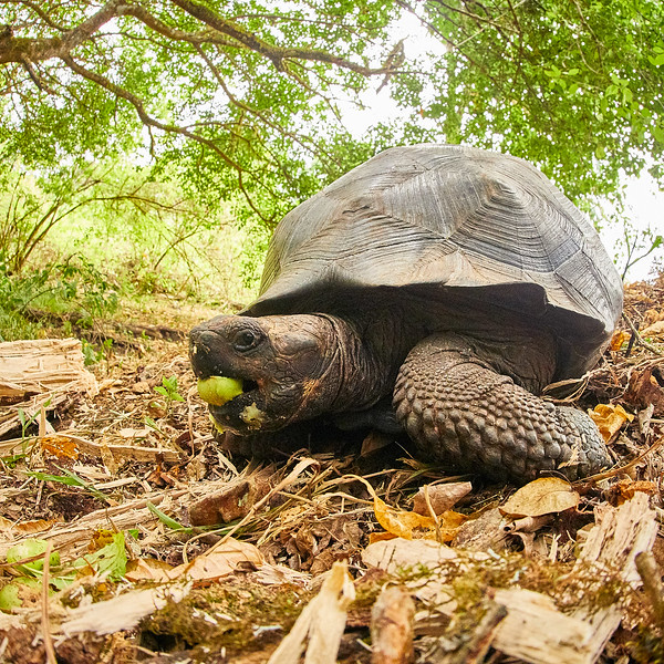 Breakfast for Giant Galapagos Tortoise and Breakfast