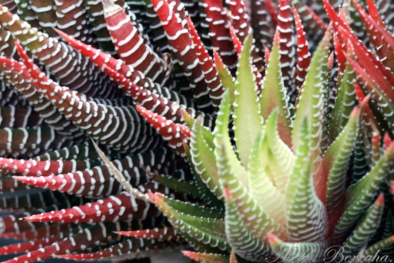 ALOE HUMILIS  Category: Cactus & Succulent Family: Aloeaceae Origin: South Africa
