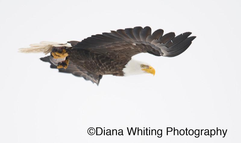 bald eagle 23.jpg