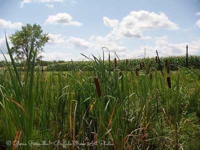 Cattails in the ditch