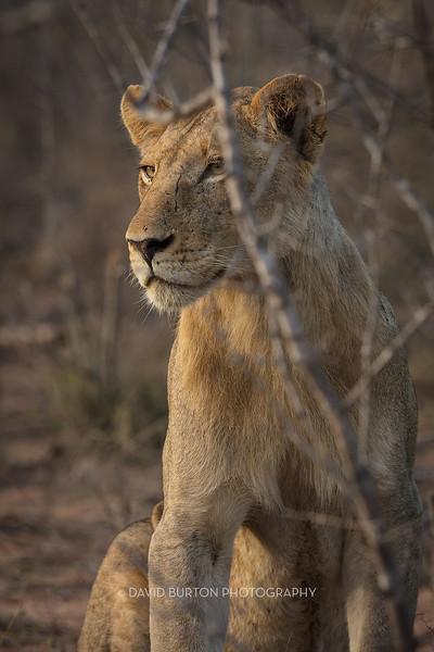 Lion_3106cc2fx-web.jpg