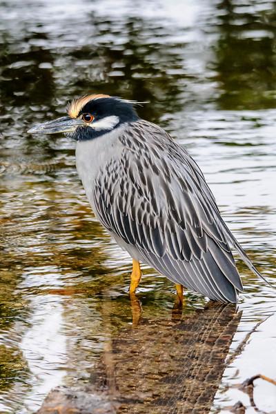 Night-Heron - Yellow-crowned - Ding Darling NWR - Sanibel Island, FL
