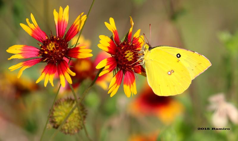 Butterfly 5-22-15 084.jpg