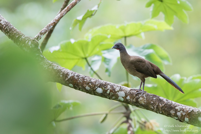 Rufous-vented Chachalaca - Gilpin Trace, Tobago