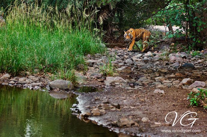 tiger sanctuary india
