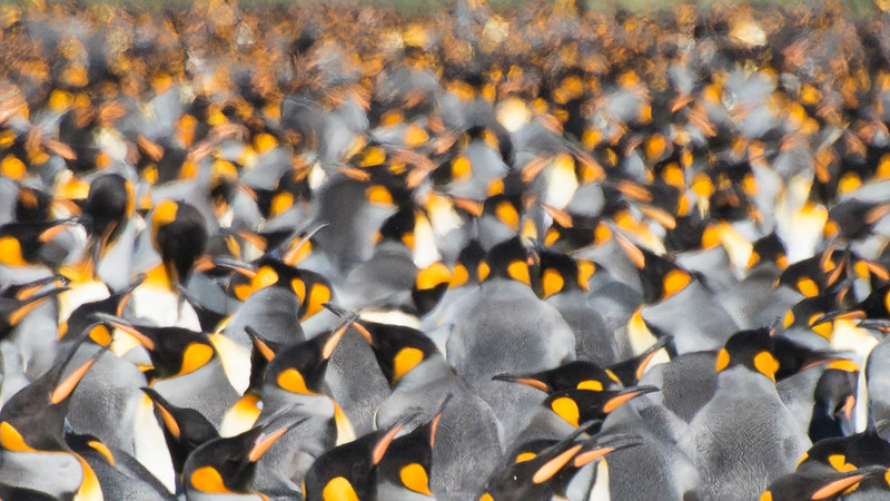 A heat haze of King Penguins, Gold Harbour, South Georgia