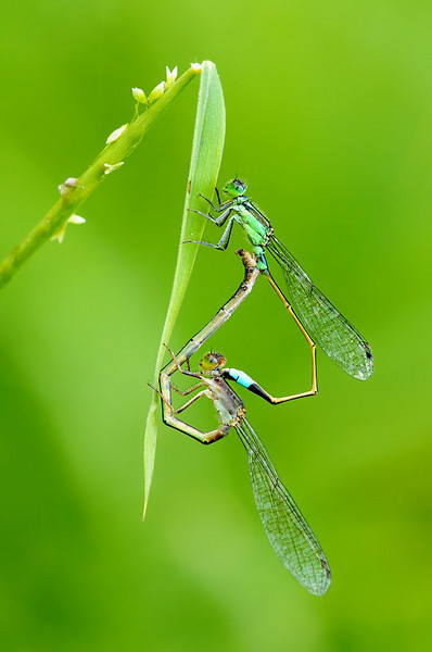 Damselflies_Holland Woods_12Jun10.jpg