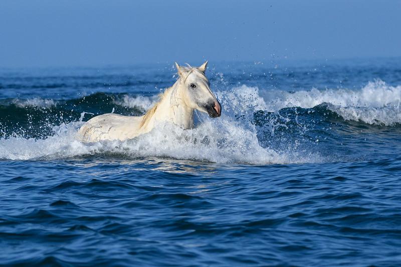 Camargue White Horse in the Mediterranean Sea.