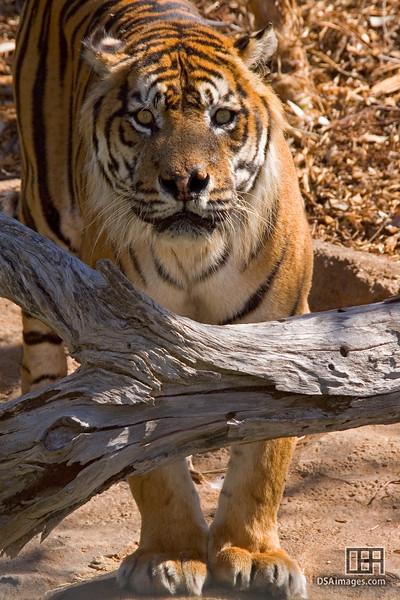 Male Sumatran Tiger at the Adelaide Zoo