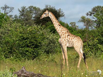 A Southern Giraffe