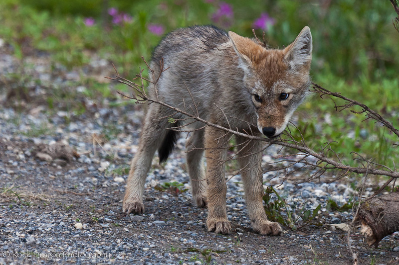 A coyote pup in Peter Lougheed Provincial Park.