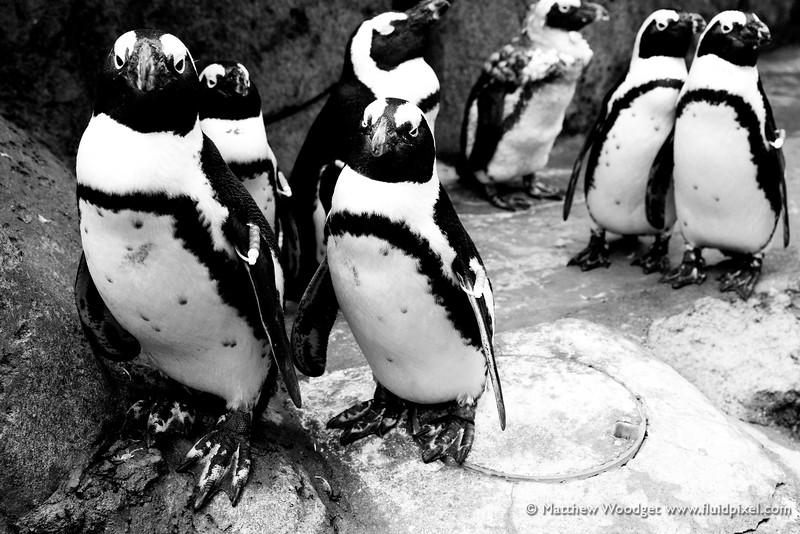 Woodget-140526-0447--aquarium, black and white, penguin.jpg