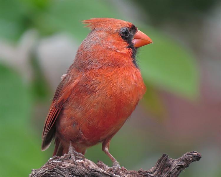 sx50_cardinal_boas_301.jpg