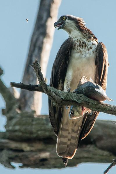 Osprey w fish-3.jpg