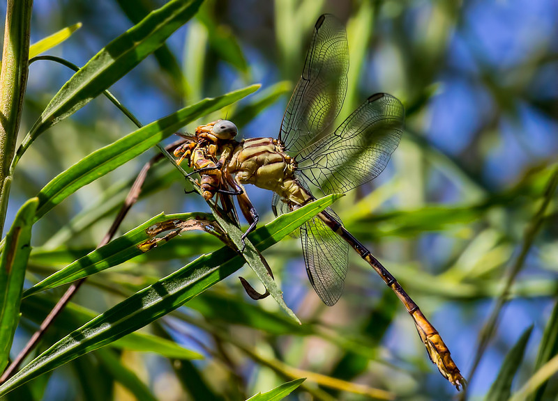 Russet-tipped Clubtail (Stylurus plagiatus); male, consumiing bee;  National Butterfly Center