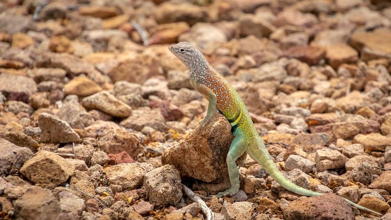 earless lizard Big Bend Nat Park -0622.jpg