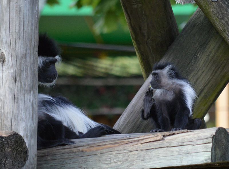 Colobus Monkey with 6 mos old baby