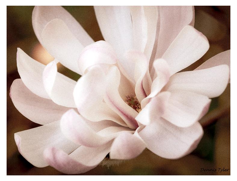 Magnolia_M4A4761-2.jpg